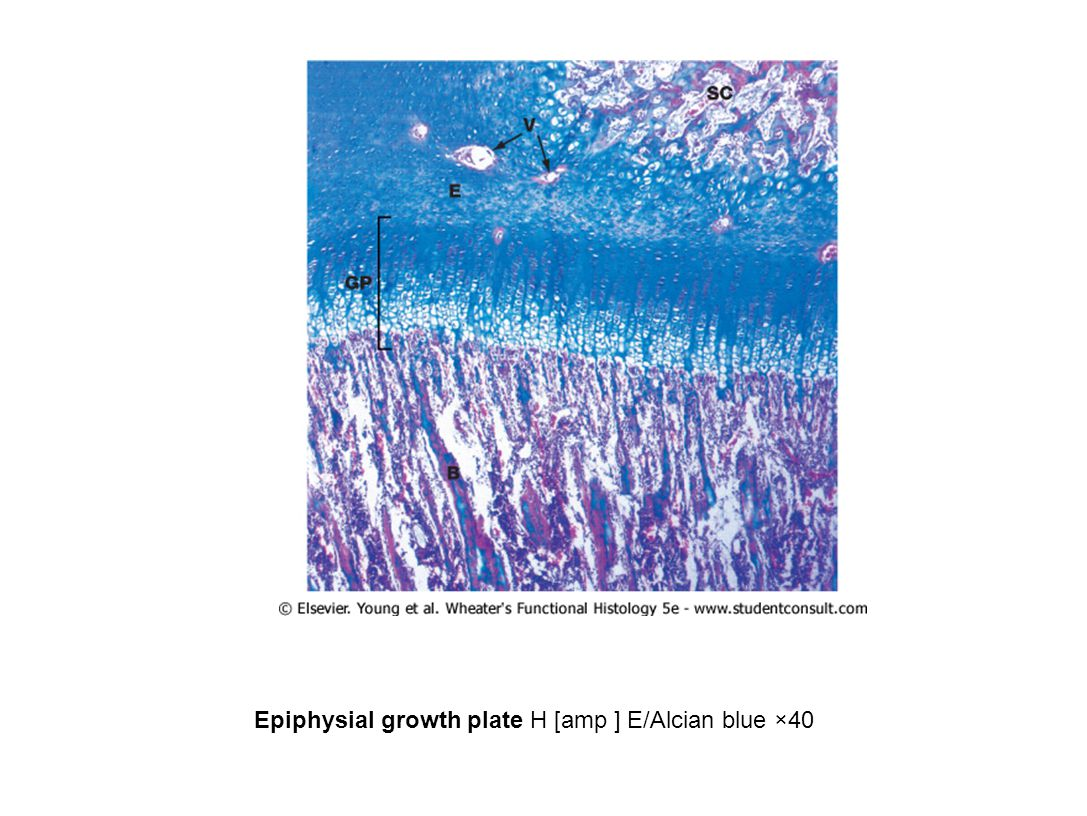 Epiphysial growth plate H [amp ] E/Alcian blue ×40